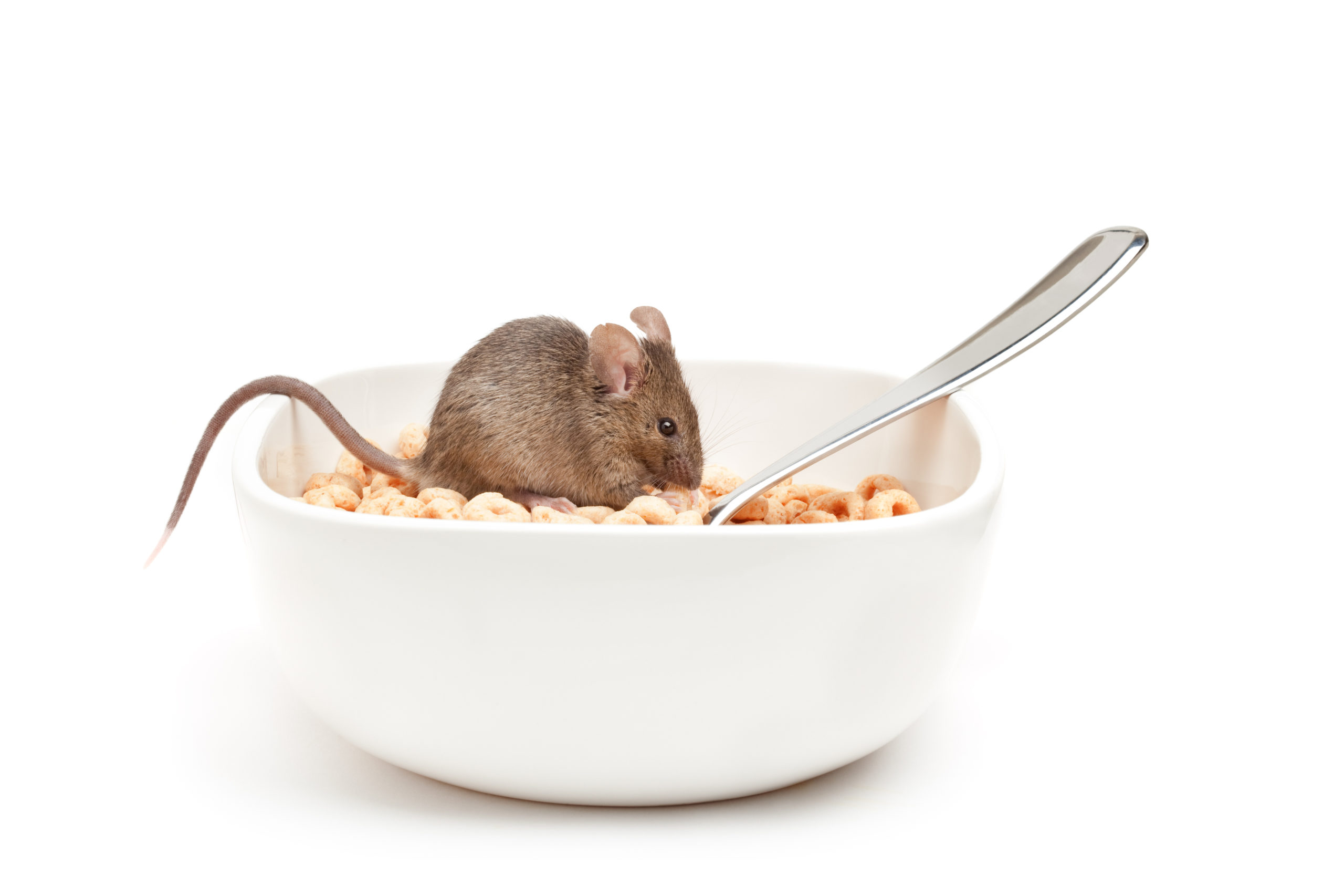 A little brown mouse sitting in a bowl of cereal hoops