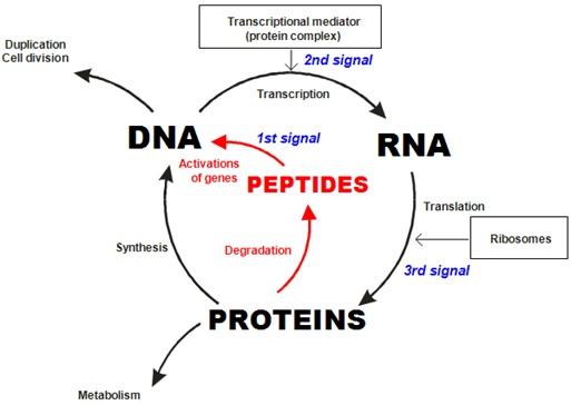 peptide-bl-fig-8