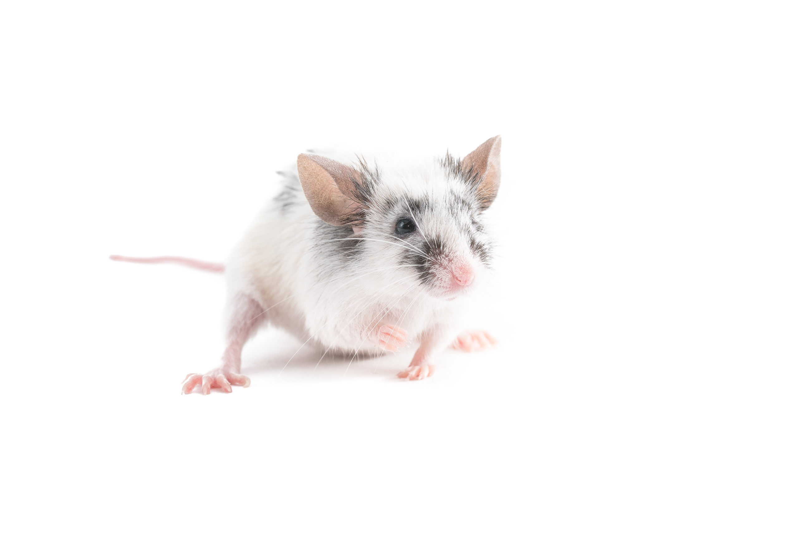 A small white and black mouse