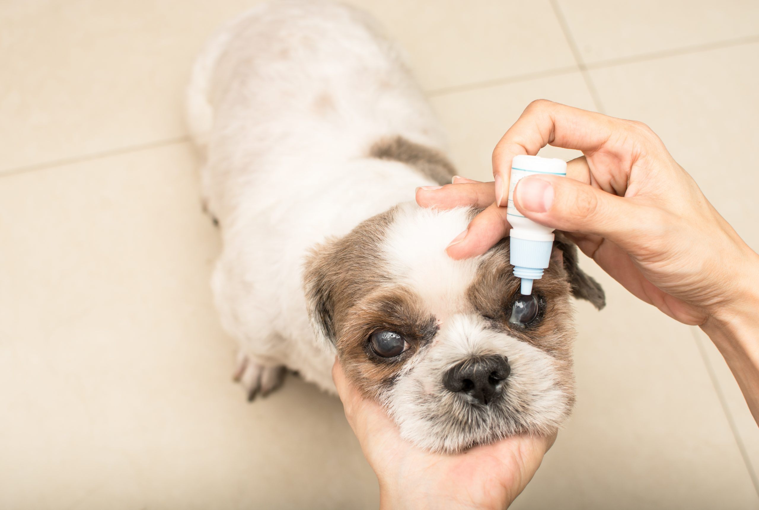 Person putting eyedrops into their dogs eye